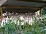 chicken_choir