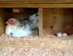 chicken_roosting_crop