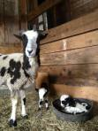 sheep_lambs_barn