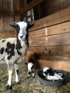 sheep_lambs_barn