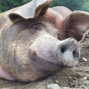 fat happy pig