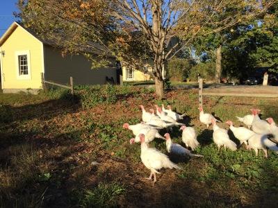 fall turkeys